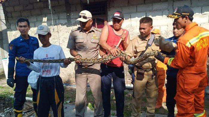 Second python in one day caught in Jakarta