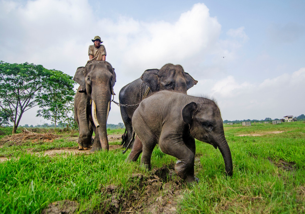 Elephant in the village: Jambi villagers struggle to keep giant animals away