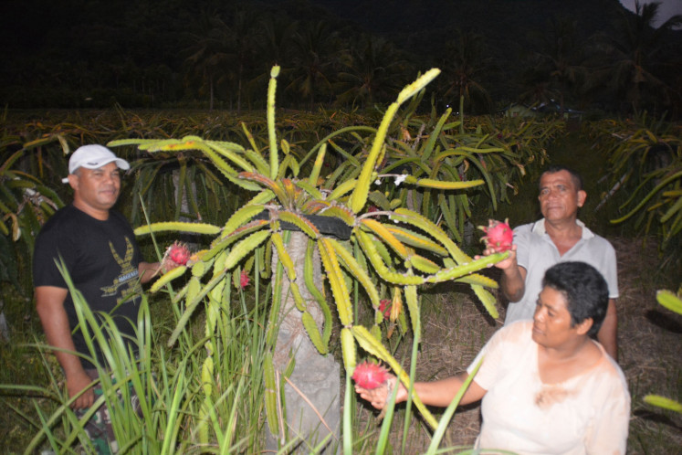Farmers harvest dragon fruit in Maupongo subdistrict, Nagekeo regency, Flores, East Nusa Tenggara.