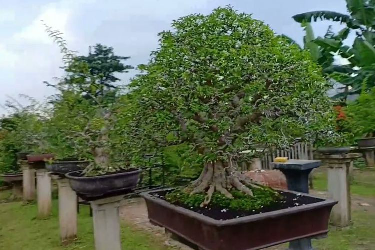 Slum area in Depok transformed into bonsai garden