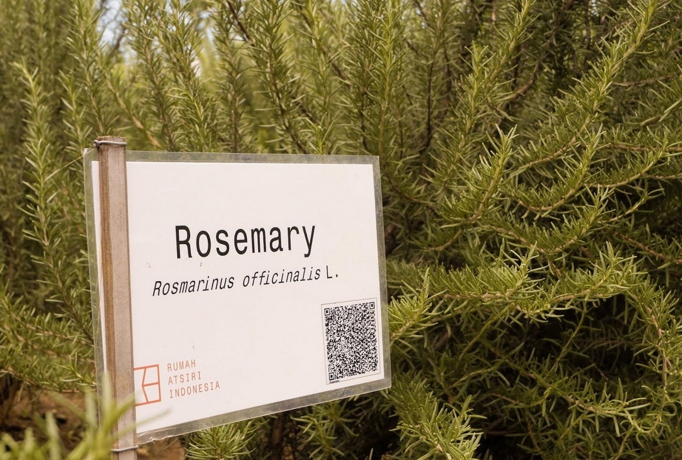 Rosemary plants in the Marigold Plaza