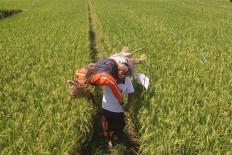 A farmer lifts a scarecrow. JP/Zul Trio Anggono