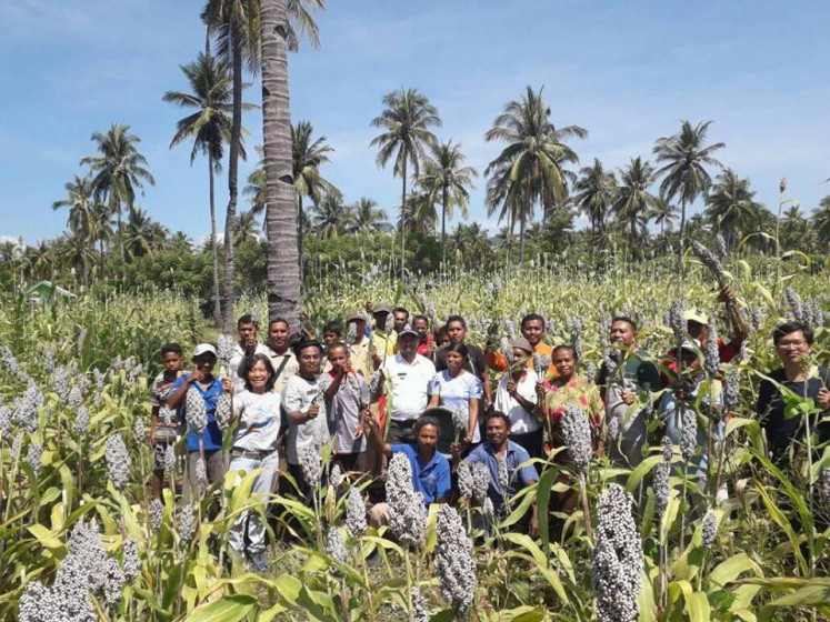 Harvesting sorghum in Kota Baru, Ende, East Nusa Tenggara.