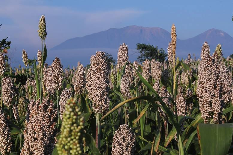 Sorghum returns to Flores