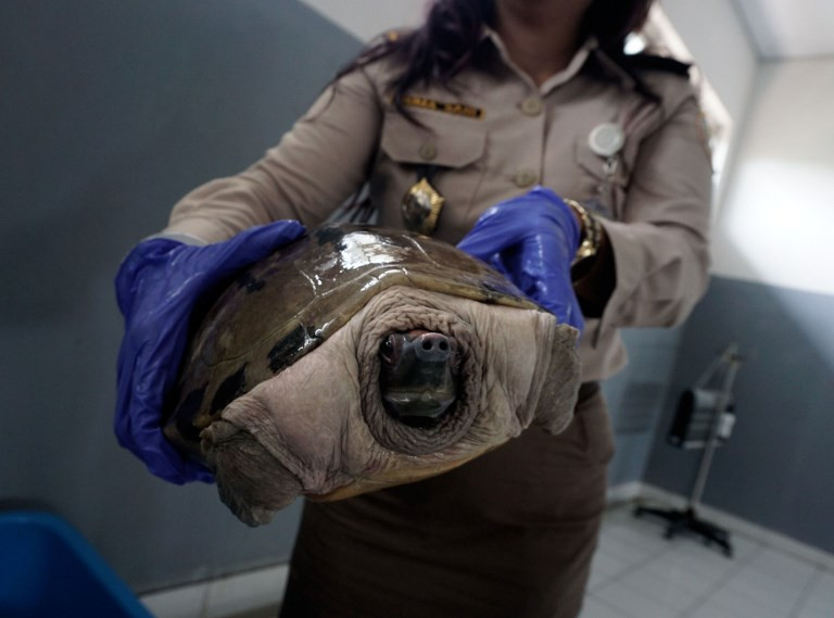 Smuggler arrested in Papua with over 2,000 endangered turtles