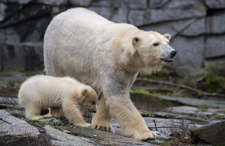 Cuddly polar bear cub makes splash in Berlin debut