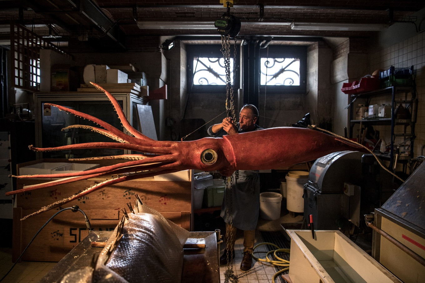 Giant squid gets makeover before showtime