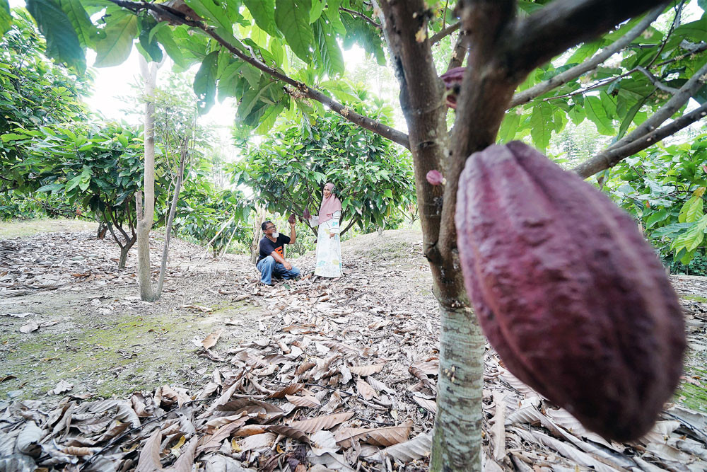 Falling production leaves bitter aftertaste in Indonesia's cocoa industry