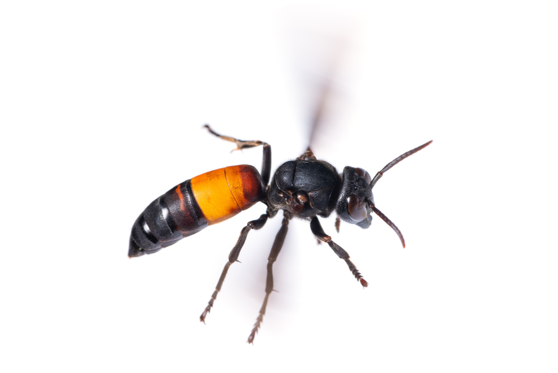 Central Java braces for deadly hornet attacks