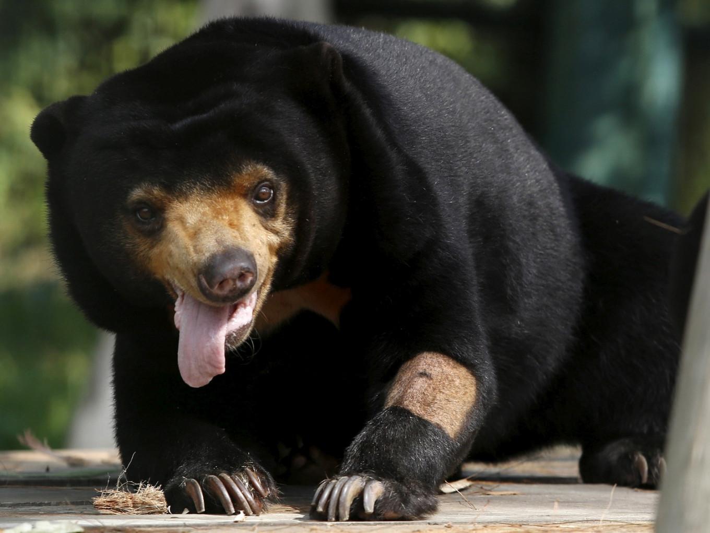 Little sun bear's facial mimicry reveals complex social skills