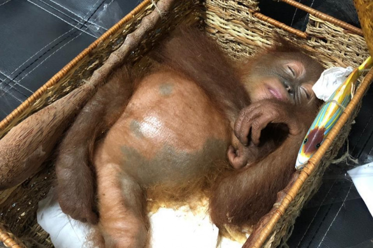 Russian accused of trying to smuggle drugged orangutan from Bali