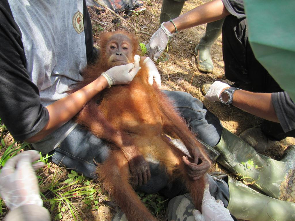 Authorities rescue injured orangutan in oil palm plantation in Aceh
