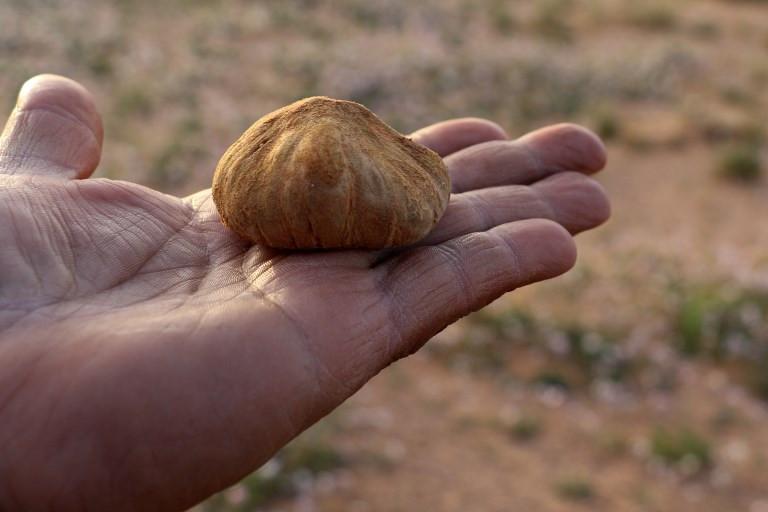 Desert truffles are Libya's 'manna from heaven'