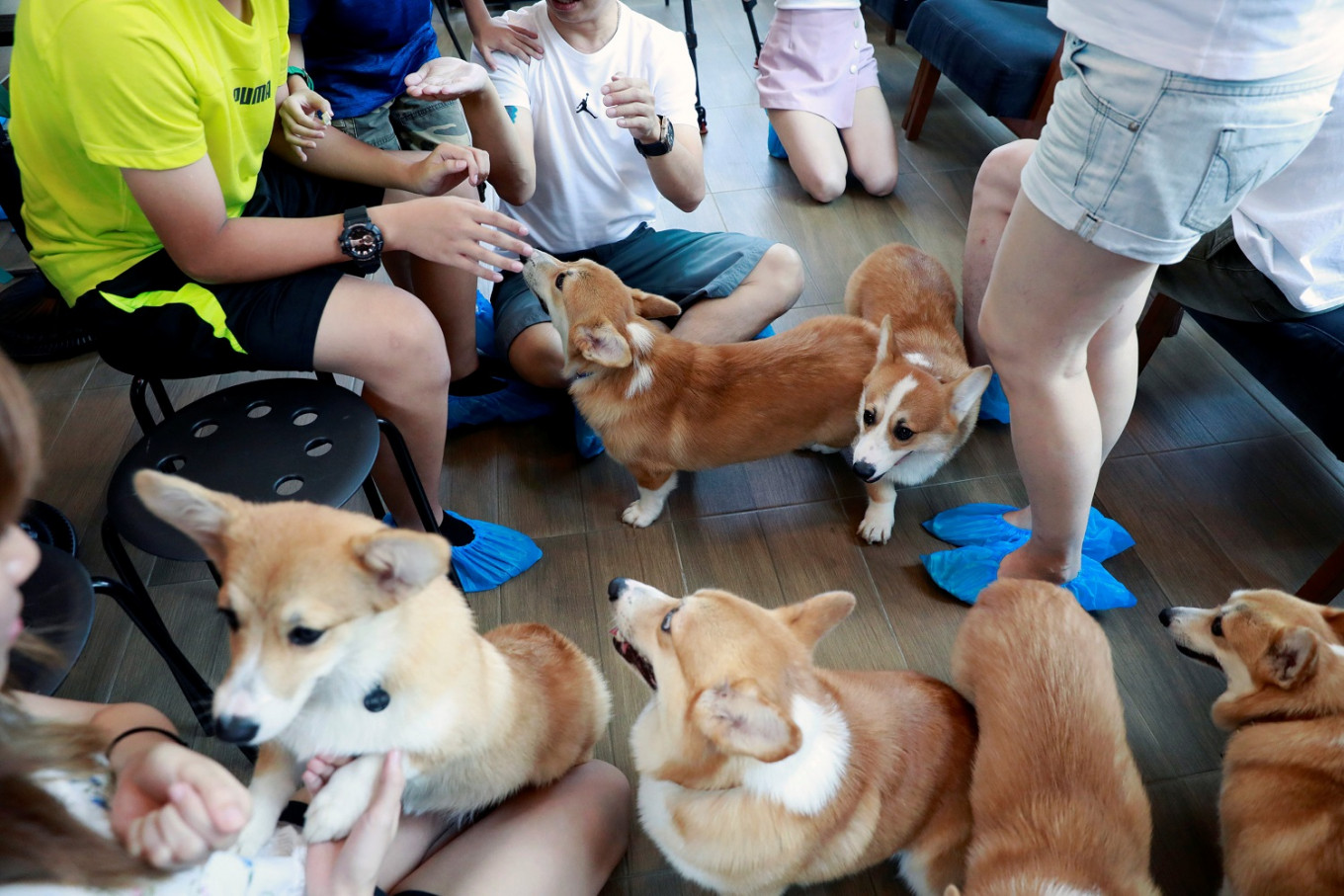 Cuteness overload: Corgis are king at this 'pawsome' cafe