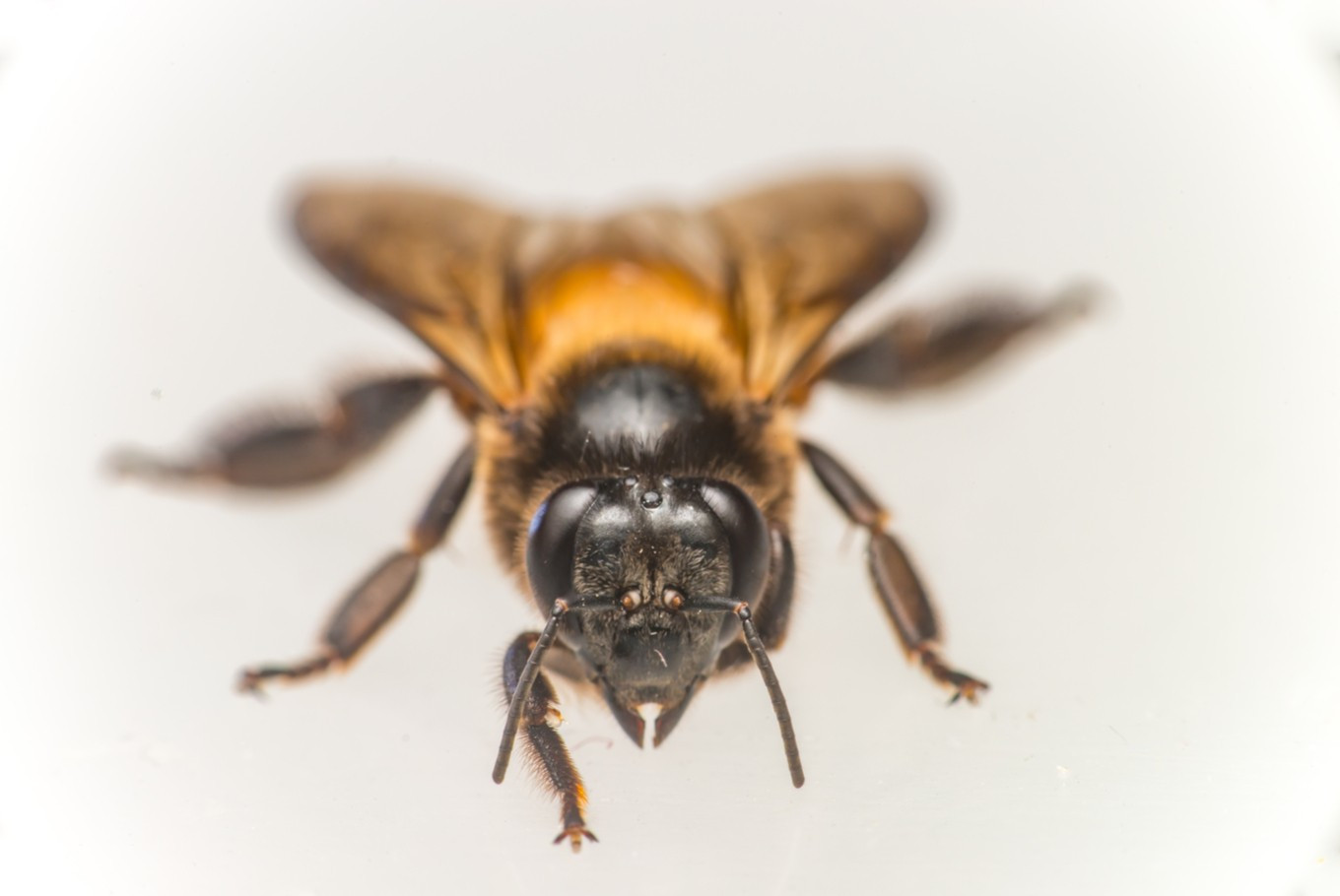 Giant bee: What can we do to keep it alive?