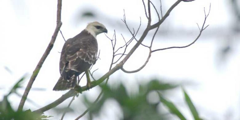 Only 10 Flores hawk-eagles remain in Kelimutu National Park