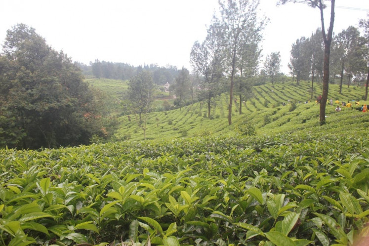 Gunung Mas tea plantation, which is run by PTPN VIII in Bogor, West Java