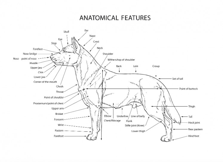 A screen capture of the Kintamani's anatomical features from the Federation of Cynologique Internationale website.