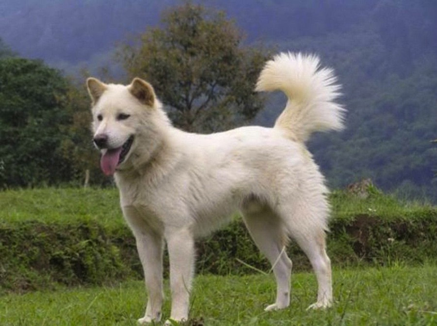 Kintamani dog becomes first Indonesian breed to get international recognition