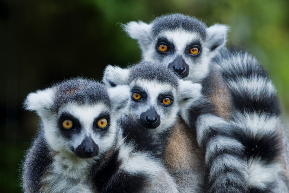 Luxury hotel launches yoga with lemurs