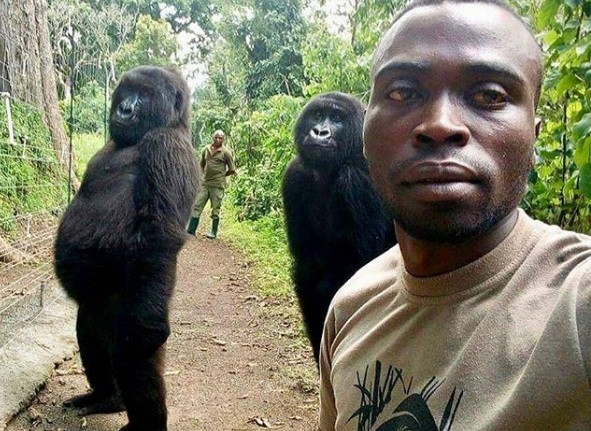 'Another day in the office': Gorillas pose for ranger's selfie