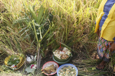 Offerings are placed in the rice field as a form of gratitude for the agricultural produce. JP/Syamsul Huda M.Suhari