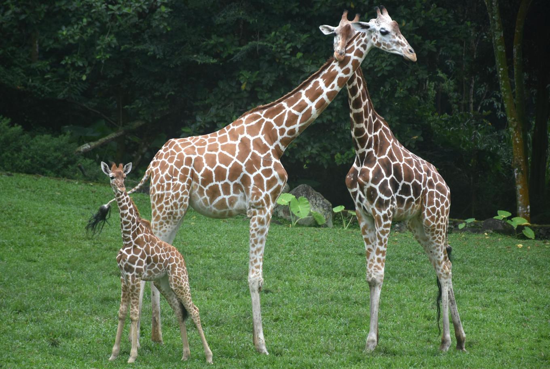 Prigen Safari Park in East Java debuts newest baby giraffe