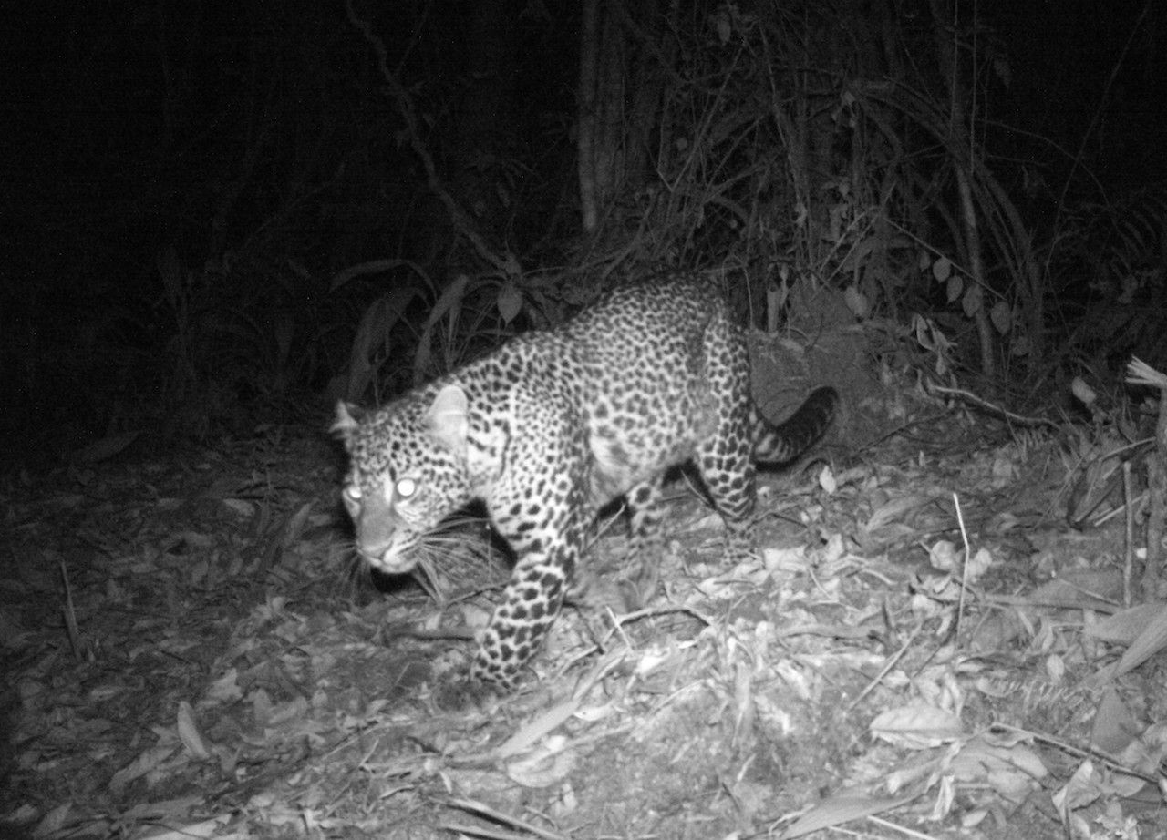 A recent field survey conducted by Conservation International (CI) Indonesia, in collaboration with West Java Natural Resource Conservation Agency (BBKSDA) and supported by Chevron, has spotted 10 endangered Javan leopards in Guntur Papandayan conservation forest, West Java.