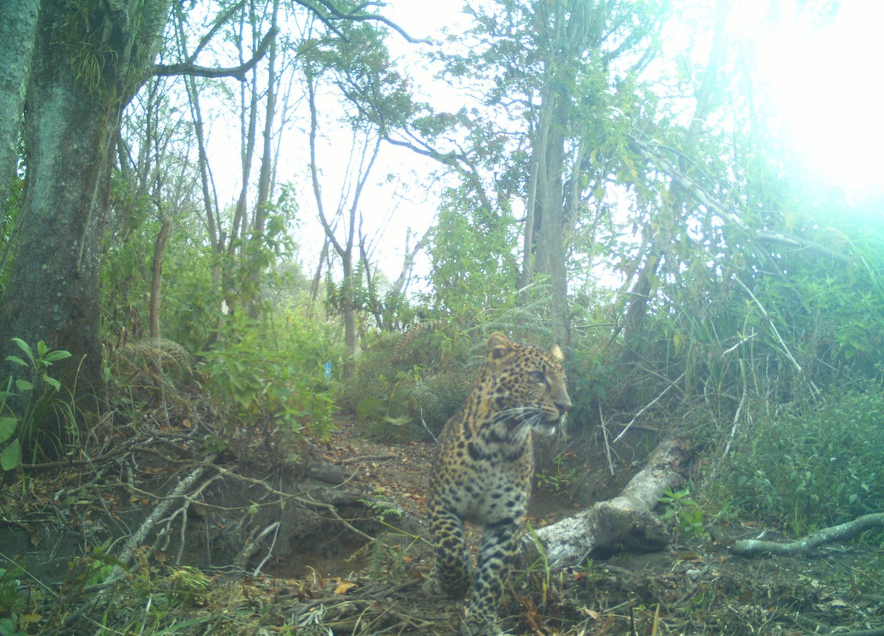 Leopard sightings were caught on 60 camera trapspreviously set up by CI Indonesia in Guntur Papandayan conservation forest for its two-year field survey, from 2016 to 2018.