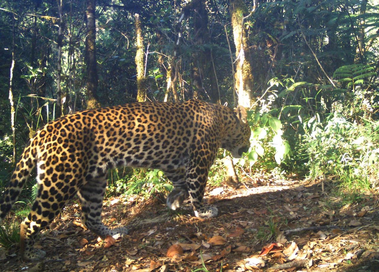 Three male and seven female Javan leopards have been identified around Guntur Papandayan.