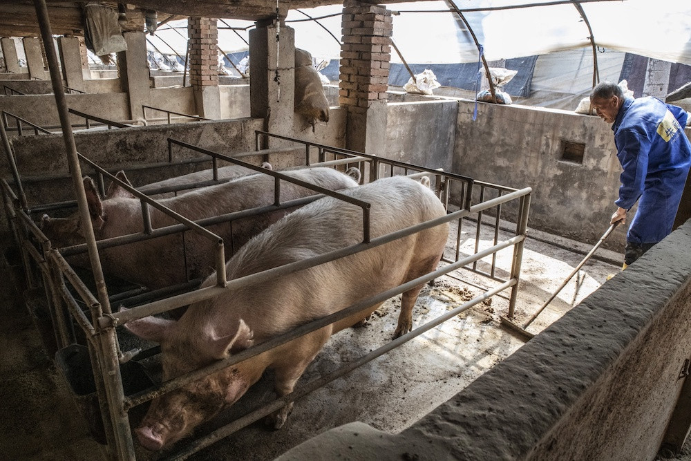 Swine fever may affect millions of people in Indonesia