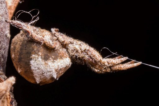 Catapulting spider winds up web to launch itself at prey: Study