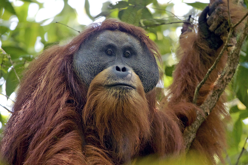 Tapanuli orangutan makes IUCN SSC list of world's most endangered primates