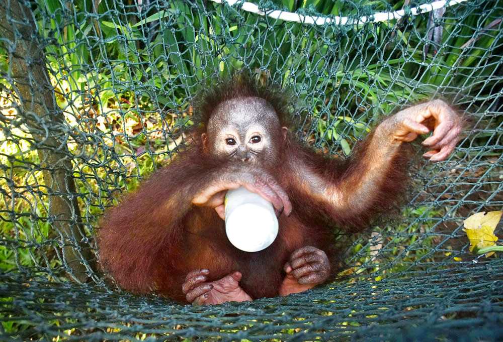 Baby orangutans traumatized after smuggling attempt - National ...