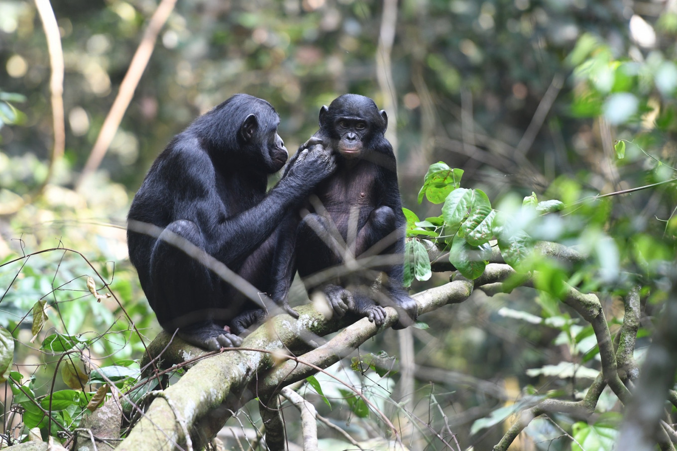 Wingmoms: How bonobo mothers help their sons find love