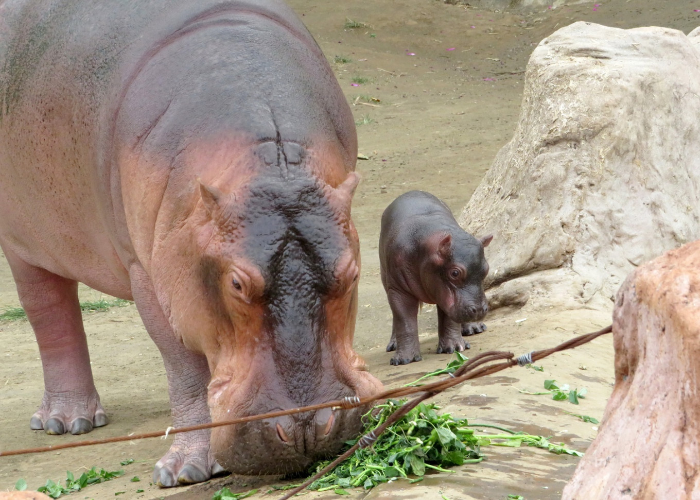 Batu Secret Zoo welcomes baby hippo