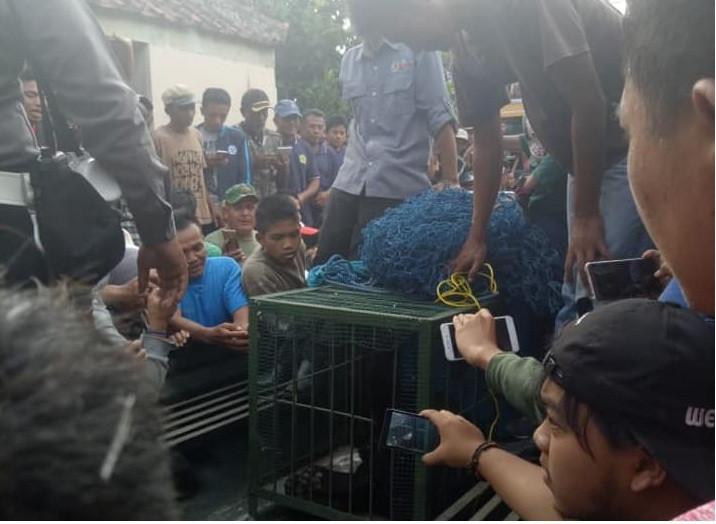 Endangered Javan leopard evacuated from West Java village