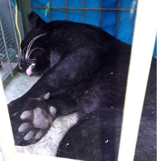 A panther sleeps in a cage after being anesthetized following its capture in a West Java village on Saturday. Local authorities have taken the wild cat to Bandung Zoo for treatment before releasing it again into the wild