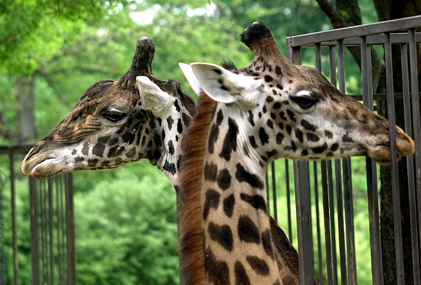 Two giraffes killed by lightning in Florida: Park