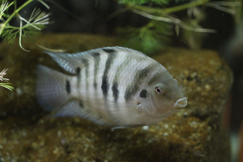 Lovelorn fish turn gloomy when separated: Study