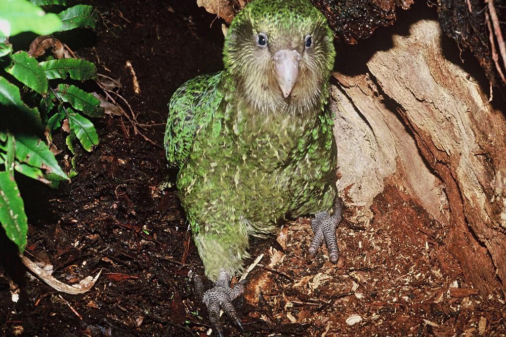 Parrot world's endangered heavyweight faces new threat