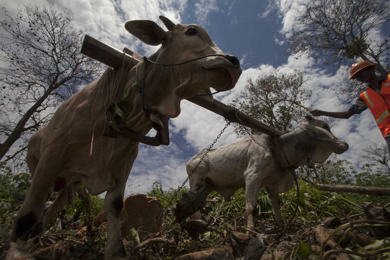 A handler directs two oxen as they pull teakwood with a plow.  JP/Sigit Pamungkas