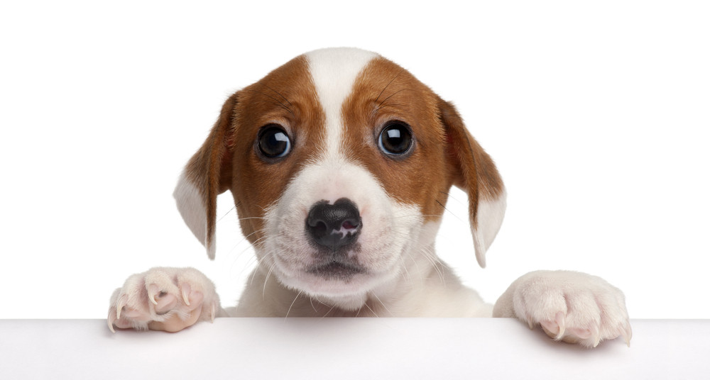 Masters Of Manipulation The Evolution Of Puppy Dog Eyes Science Tech The Jakarta Post
