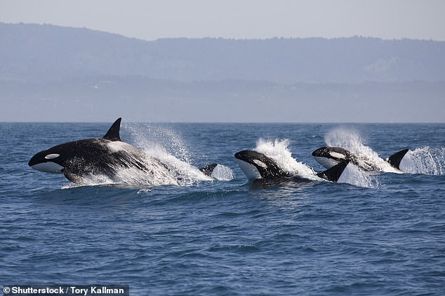 Whale of a time: Orcas make an appearance in Indonesian waters