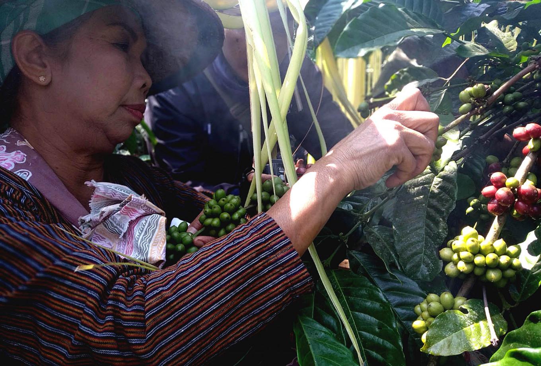 An employee picks coffee as part of the ritual.