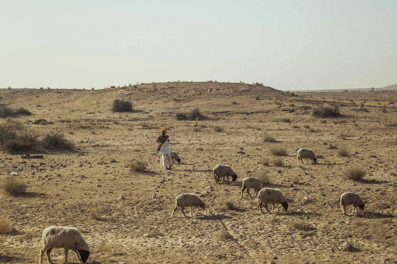 A local man herds sheep in the heat of the desert. JP/Irene Barlian