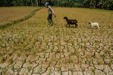 Drought affects 103,000 ha of rice fields in 100 regencies/cities