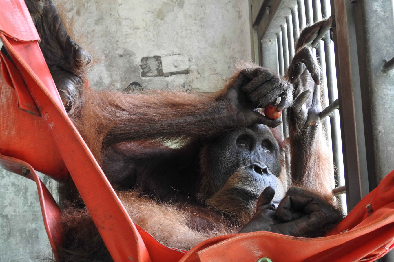 Blind orangutan found with 24 pellets his body now in stable condition