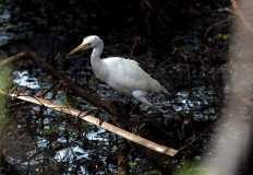 What's for lunch: A kuntul (egret) searches for food in the wild. JP Boy T Harjanto