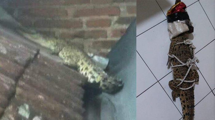 Mystery as crocodile lands on roof of Malang house